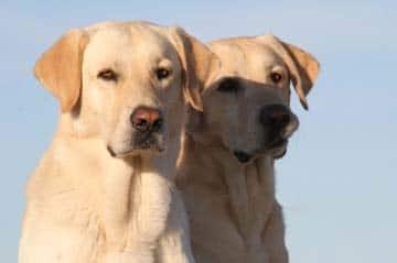 2 Labradors pic