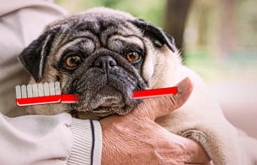 How often to brush my Pug's teeth?