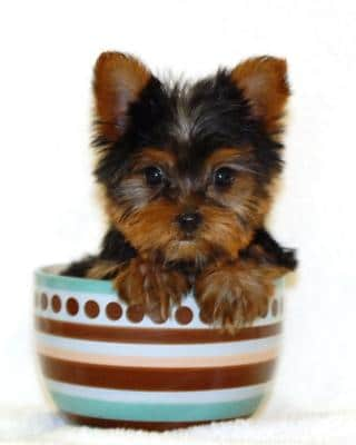 the smallest cup yorkie in the world