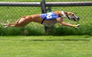 What is a Greyhound racing?