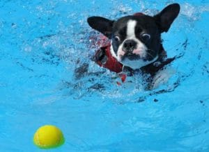Is swimming a good sport for French Bulldogs?
