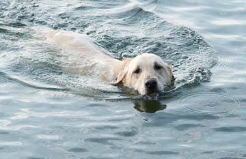 Labrador good swimmers coat waterproof