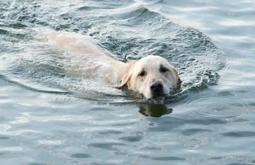 Are Labradors' coats waterproof ?