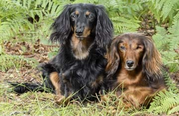 Are Dachshunds aggressive?
