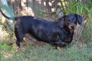 What's the three categories of Dachshunds dogs?