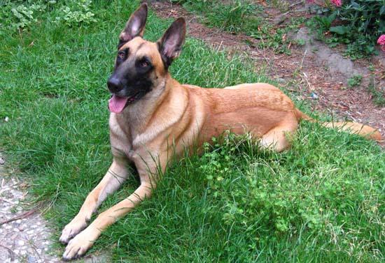 Belgian Malinois Police dog