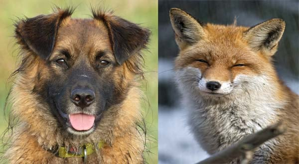 Can foxes breed with dogs