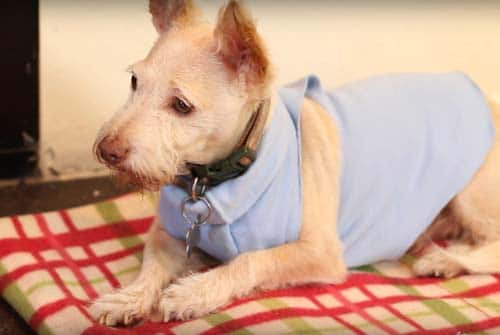 How to make a dog shirt without sewing