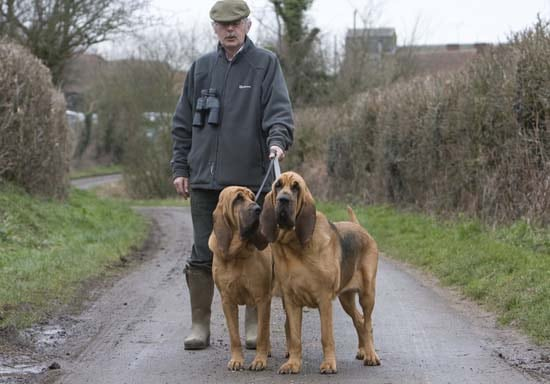 2 Bloodhounds