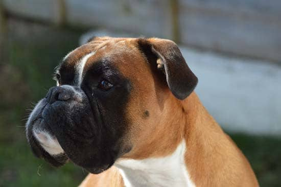 Boxers dog face