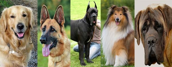 friendliest large dog breeds