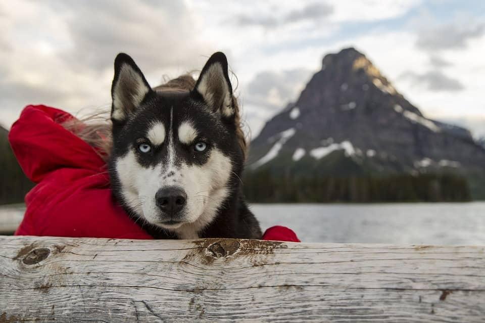 best doghouse for husky